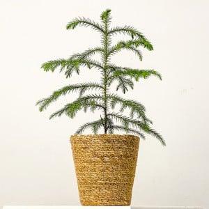 Fidan Burada - Mini Arokarya Çamı Oly Düz Hasır Saksılı Araucaria Heterophylla