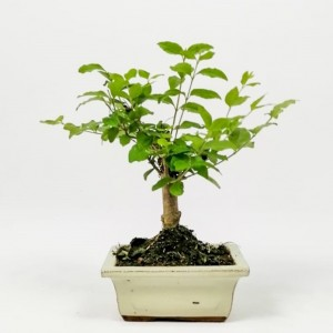 Fidan Burada - Mini Bonsai - Bej Kare Seramik Saksıda 25cm