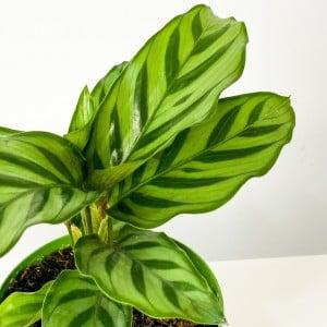 Mini Kalatya-Calathea Freddie - Thumbnail