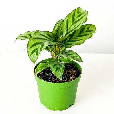 Mini Kalatya-Calathea Freddie
