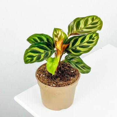 Mini Kalatya-Calathea Makoyana 15cm