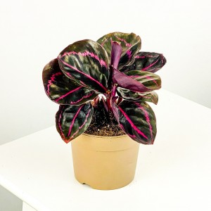 Fidan Burada - Mini Kalatya-Calathea Rosea Picta - 15cm