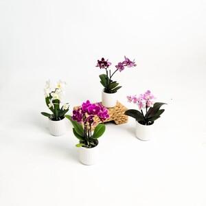 Fidan Burada - Mini Orkide - Beyaz Seramik Saksılı