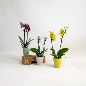 Fidan Burada - Mini Orkide - Renkli Seramik Saksılı