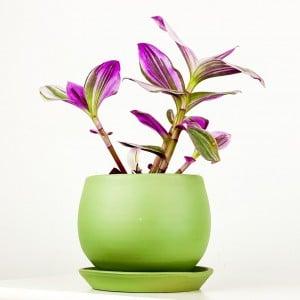 Fidan Burada - Mini Pembe Telgraf Çiçeği Curvy Mint Yeşili