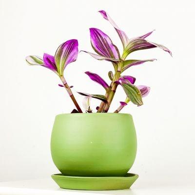 Mini Pembe Telgraf Çiçeği Curvy Mint Yeşili