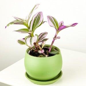 Mini Pembe Telgraf Çiçeği Curvy Mint Yeşili - Thumbnail