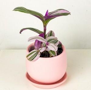 Fidan Burada - Mini Pembe Telgraf Çiçeği Curvy Pembe Saksılı