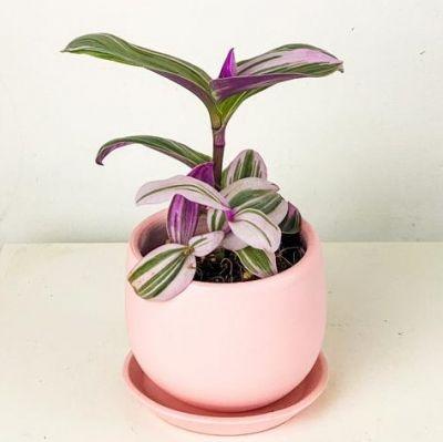 Mini Pembe Telgraf Çiçeği Curvy Pembe Saksılı