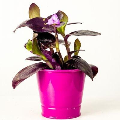 Mini Mor Telgraf Çiçeği Fuşya Dekoratif Saksılı