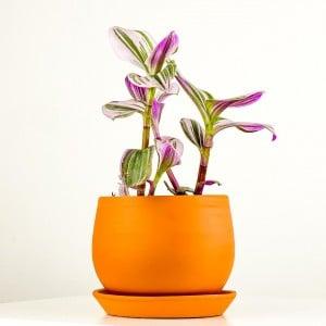 Mini Pembe Telgraf Çiçeği Curvy TerraCotta Saksılı - Thumbnail