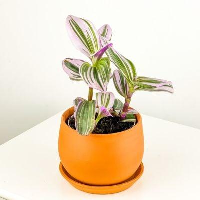 Mini Pembe Telgraf Çiçeği Curvy TerraCotta Saksılı