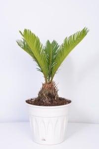Fidan Burada - SİKAS - Cycas Revoluta -Japon sago palmiyesi 20-30 Cm