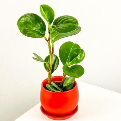 Mini Zümrüt Dalgası Bitkisi Curvy Kırmızı Saksılı