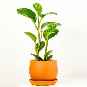 Fidan Burada - Mini Zümrüt Dalgası Bitkisi Curvy Terra Cotta Saksılı