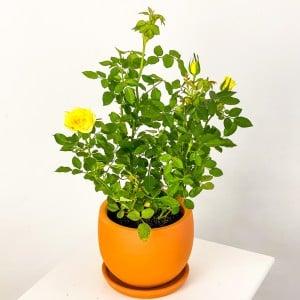 Fidan Burada - Minyatür Gül Sarı 20-30cm