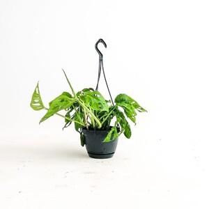 Fidan Burada - Monstera Adansonii-Monkey Leaf-İthal-Askılı Saksıda