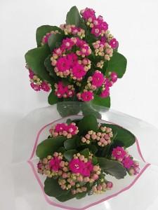 Fidan Burada - Mor Kalanşo Çiçeği- Orta Boy-Kalanchoe
