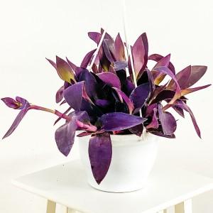 Fidan Burada - Mor Telgraf Çiçeği Tradescantia Purple Passion Askılı Saksıda