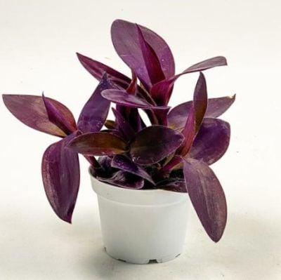 Mor Telgraf Çiçeği Tradescantia Purple Passion