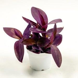 Mor Telgraf Çiçeği Tradescantia Purple Passion - Thumbnail