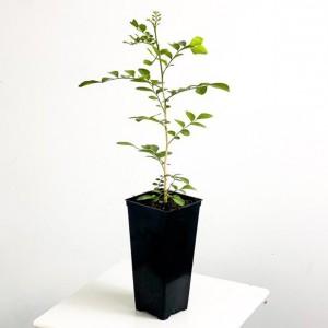 Fidan Burada - Murraya Paniculata (Portakal Yasemini) 50-60cm