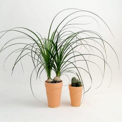 Nolmillaria Terracota Saksılı Hediye Seti