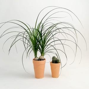 Fidan Burada - Nolmillaria Terracota Saksılı Hediye Seti
