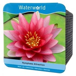 Nymphaea Attraction-Kırmızı Nilüfer Çiçeği Seti - Thumbnail
