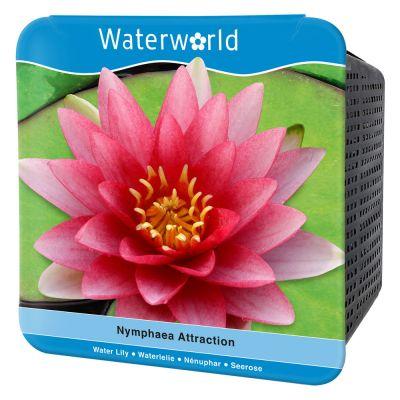 Nymphaea Attraction-Kırmızı Nilüfer Çiçeği Seti