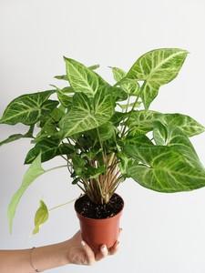 Fidan Burada - Melek Kanadı-Syngonium Podophyllum-İthal 20-30 Cm