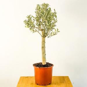 Fidan Burada - Baston Zeytin Olea Europaea 80cm
