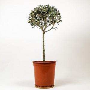 Fidan Burada - Olea Europaea - Baston Zeytin