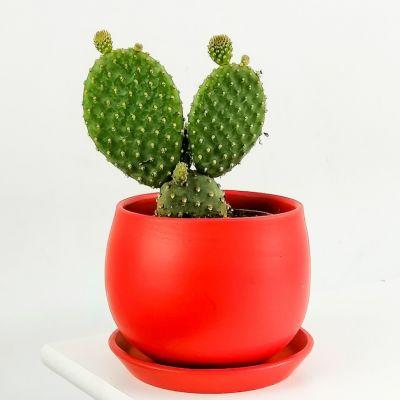 Opuntia Micky Kaktüs Curcy Kırmızı Saksılı