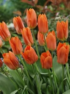 Fidan Burada - Orange Brilliant Lale Soğanı-İthal-10 Adet