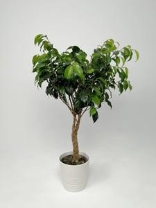 Fidan Burada - Örgülü Baston Benjamin - (Ficus Benjamina) +50cm