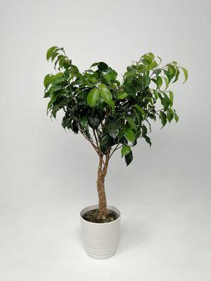 Örgülü Baston Benjamin - (Ficus Benjamina) +50cm