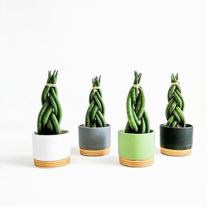 Fidan Burada - Örgülü Paşa Kılıcı-Sansevieria Cylindrica Braided -Wood Colors 25 Cm