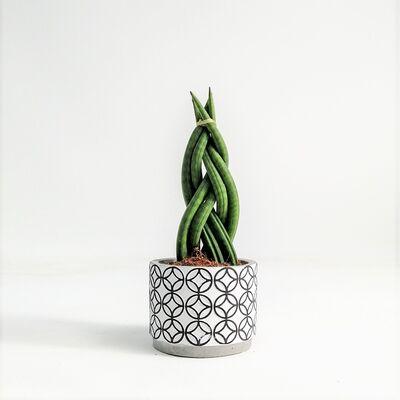 Örgülü Paşa Kılıcı-Sansevieria Cylindrica Braided-Black-White 25 Cm