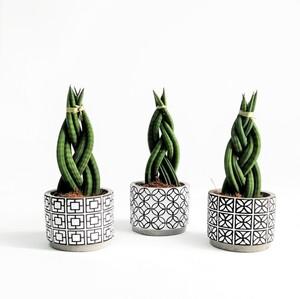 Örgülü Paşa Kılıcı-Sansevieria Cylindrica Braided-Black-White 25 Cm - Thumbnail