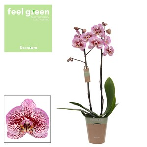 Fidan Burada - Orkide -Anthura Andorra-Çift Dallı