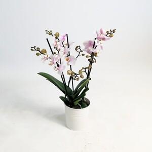 Fidan Burada - Orkide Beyaz Pembe - Üç Dallı