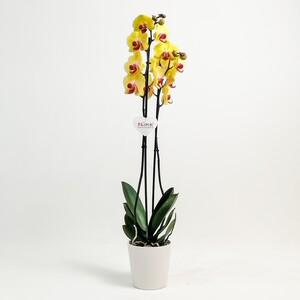 Fidan Burada - Orkide Çift Dallı Sarı Renk