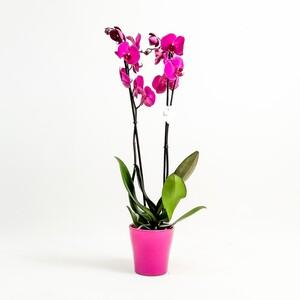 Fidan Burada - Orkide Çift Dallı Fuşya-Mor Renk