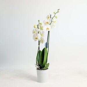 Fidan Burada - Orkide Beyaz -Çift Dallı