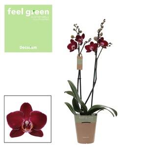 Fidan Burada - Orkide- Elegant Debora - Çift Dallı