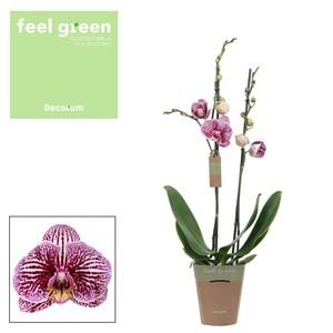Fidan Burada - Orkide - Floriclone Black Stripes - Çift Dallı