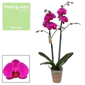 Fidan Burada - Orkide - Phalaenopsis African Queen - Çift Dallı