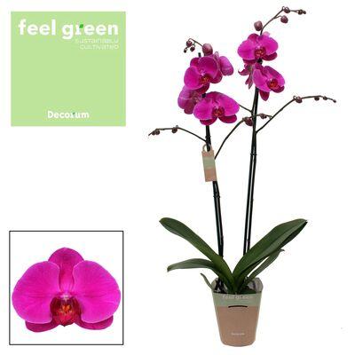 Orkide - Phalaenopsis African Queen - Çift Dallı