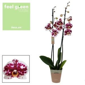 Fidan Burada - Orkide - Lekeli Mor -Murcia - Çift Dallı